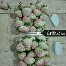 三亚草莓苗 甜宝草莓苗 草莓基质生产苗图片