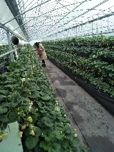 红颜草莓苗制造商 甜宝草莓苗 草莓基质裸根苗图片