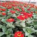 山東花海設計廠家,花海花苗,花海常用宿根花卉