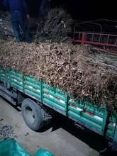 廊坊大棚红油香椿树苗繁育批发基地 香椿苗 绿油香椿树图片