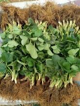 内蒙古草莓苗生产厂家 章姬草莓苗 草莓苗品种介绍图片