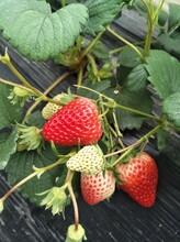 安徽红颜草莓苗生产厂家 法兰帝草莓苗 草莓基质苗图片