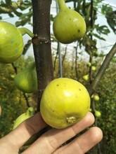 供应波姬红无花果树苗供应商 布兰瑞克无花果苗 质量高图片