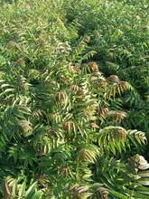 大棚红油香椿树苗繁育批发基地电话 香椿苗 绿油香椿树图片