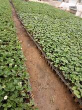 内蒙古法兰帝草莓苗生产厂家 红颜草莓苗 草莓基质苗图片