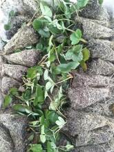 内蒙古法兰帝草莓苗生产厂家 章姬草莓苗 大量供应图片