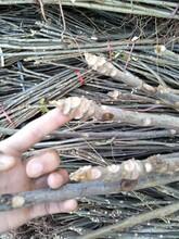 兰州大棚红油香椿树苗繁育批发基地 香椿苗 质优价廉图片