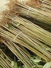蚌埠大棚红油香椿树苗繁育批发基地 香椿苗 质优价廉图片