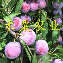 南充脆紅李苗常見樹型 晚熟脆紅李樹苗 點擊索取資料圖片