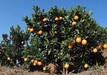 精品柑橘苗价格 桔子苗 量大优惠