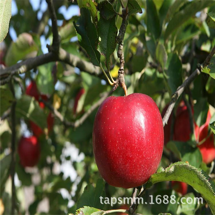 及早熟鲁丽苹果树苗厂家直销