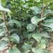北京新梨7號梨樹苗品種梨苗梨苗