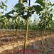 重庆梨树苗基地价格品种梨苗