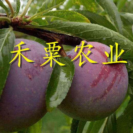 脆紅李苗圖