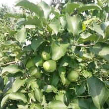 青岛1.5公分苹果树苗批发价格 鲁丽苹果树苗 品种齐全图片