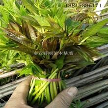 热门红油香椿树供应商 红油香椿树 大棚香椿实拍图图片