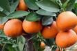 柑橘苗批发 蜜桔苗 __浙江果苗种植基地