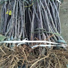 上海两公分苹果树苗批发价格 鲁丽苹果树苗 产地直销图片
