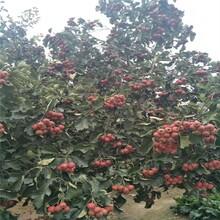 西安品种山楂树苗批发价格 大金星山楂树苗 丰产图片