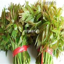 深圳香椿苗厂家直销 红油香椿树 香椿树苗基地图片