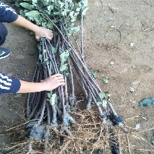 上海7月份成熟苹果树苗批发 鲁丽苹果树苗 常年培育图片