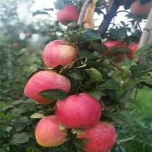 北京4公分苹果树苗批发 鲁丽苹果树苗 抗寒抗旱图片