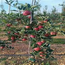 青岛现货苹果树苗批发价格 鲁丽苹果树苗 抗寒抗旱图片