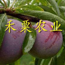 贵州脆红李苗肥水管理 晚熟脆红李苗 青脆李苗生产基地图片