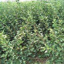 山东品种山楂树苗量大优惠 甜红子山楂树苗 现货供应图片