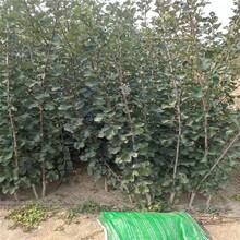 贵州品种山楂树苗 大棉球山楂树苗 保质保量图片