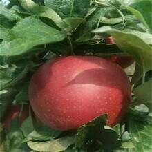 长沙销售苹果树苗批发价格 鲁丽苹果树苗 品质优良图片