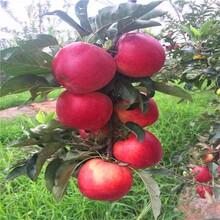 青岛及早熟苹果树苗批发价格 鲁丽苹果树苗 高成活率图片