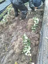 优质草莓苗出售 章姬草莓苗 草莓基质苗图片