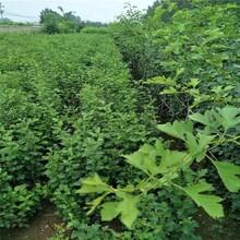 四川嫁接品种山楂树苗厂家 大五棱山楂树苗 优质高产图片