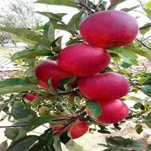 昆明5公分苹果树苗批发 鲁丽苹果树苗 品质优良图片