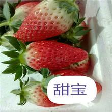专业奶油草莓苗报价 奶油草莓苗 草莓基质裸根苗图片