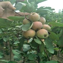 武汉及早熟苹果树苗批发 鲁丽苹果树苗 早熟鲁丽图片