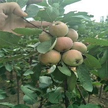 苏州3公分苹果树苗批发 鲁丽苹果树苗 及早熟免套袋图片