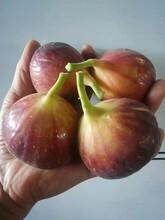 商丘无花果树苗生产厂家 金傲芬无花果苗 多品种图片