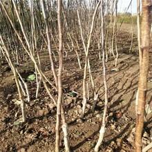 合肥4公分山楂树苗厂家 大五棱山楂树苗 易栽活图片