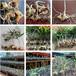 农之福五叶黄精苗,中药黄精的种植要求