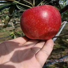 长沙1公分苹果树苗批发 鲁丽苹果树苗 上市早价格高图片