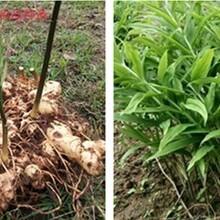 黔东南老虎姜种苗品质优良,老虎姜种植图片