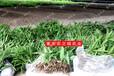農之福白芨種植,白芨種植合作基地