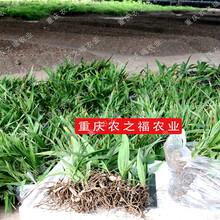 小白芨苗价格,白芨种植图片