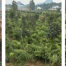 种植两亩黄精的收益,黄精种植图片