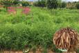 農之福麥冬種植,郴州天冬種苗批發