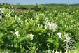 黃岡金銀花種苗質量可靠