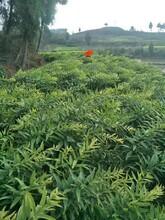 农之福黄精市场价格,内江老虎姜种苗售后保障图片
