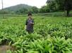 農之福白芨種植,中藥材白芨種植前景